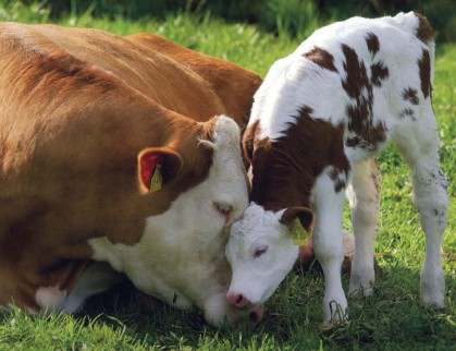 loving-mother-cow-and-calf1-1024x787